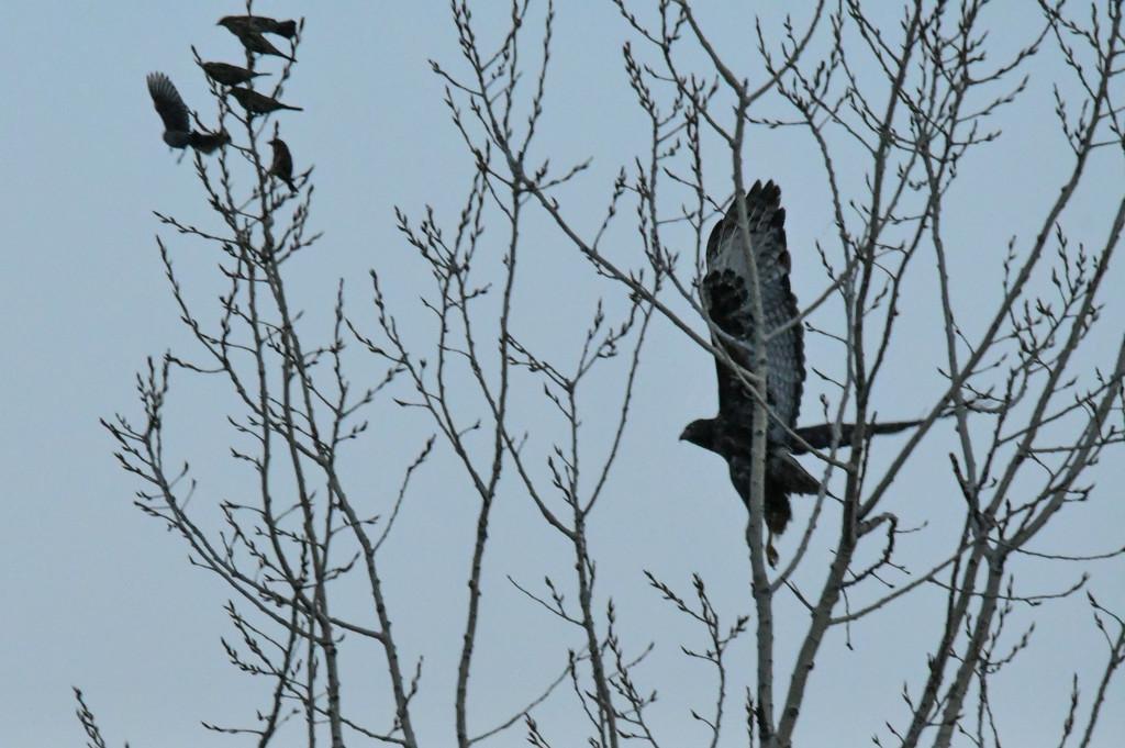 Dark Morph Red-Tailed Hawk in Flight by kareenking