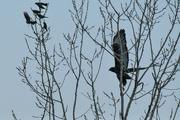 8th Jan 2019 - Dark Morph Red-Tailed Hawk in Flight