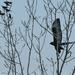 Dark Morph Red-Tailed Hawk in Flight