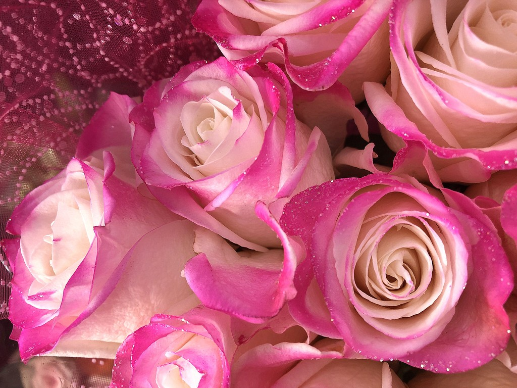 Sparkling pink roses by homeschoolmom