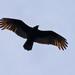 Vulture Silhouette!