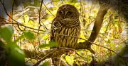 9th Jan 2019 - Sleepy Barred Owl!