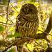 Sleepy Barred Owl!