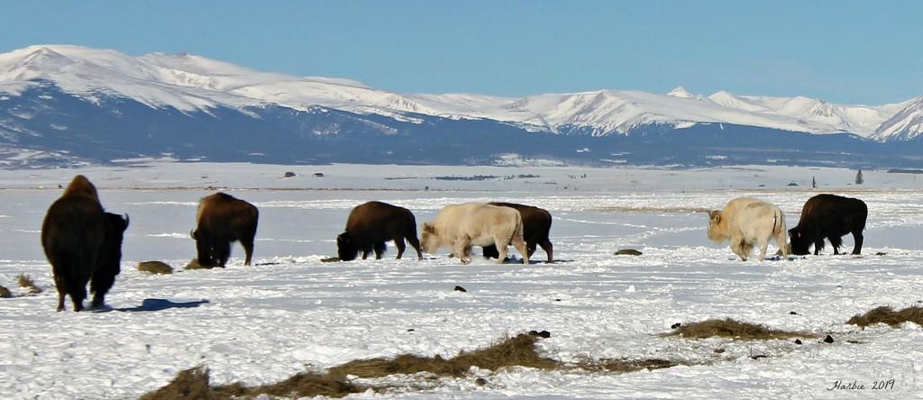 White Buffalo by harbie