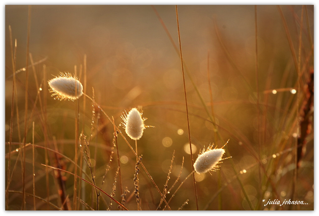 Bunny Tails in the Sunrise... by julzmaioro