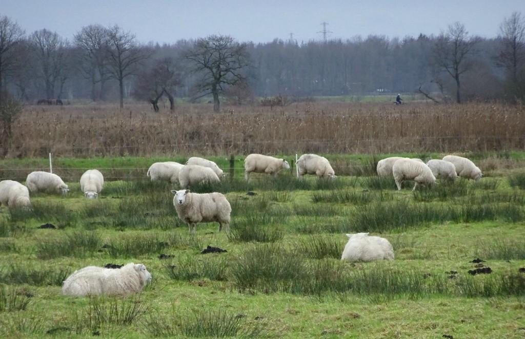 sheep by gijsje