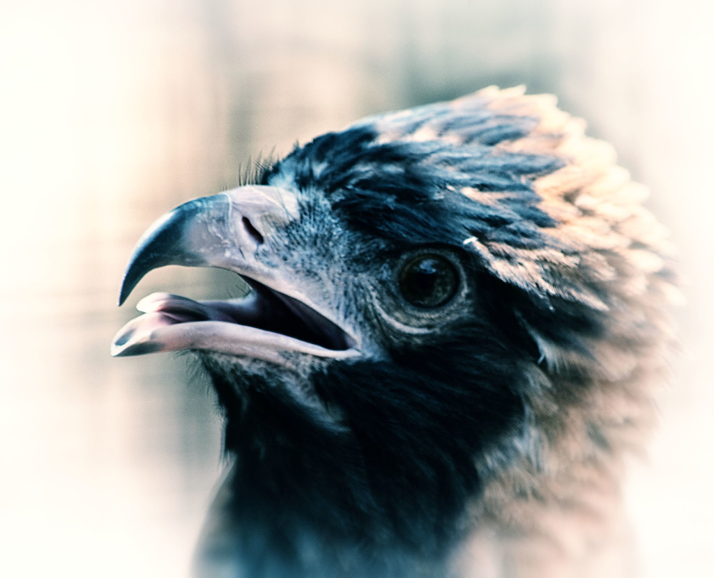 Black-breasted Buzzard by annied