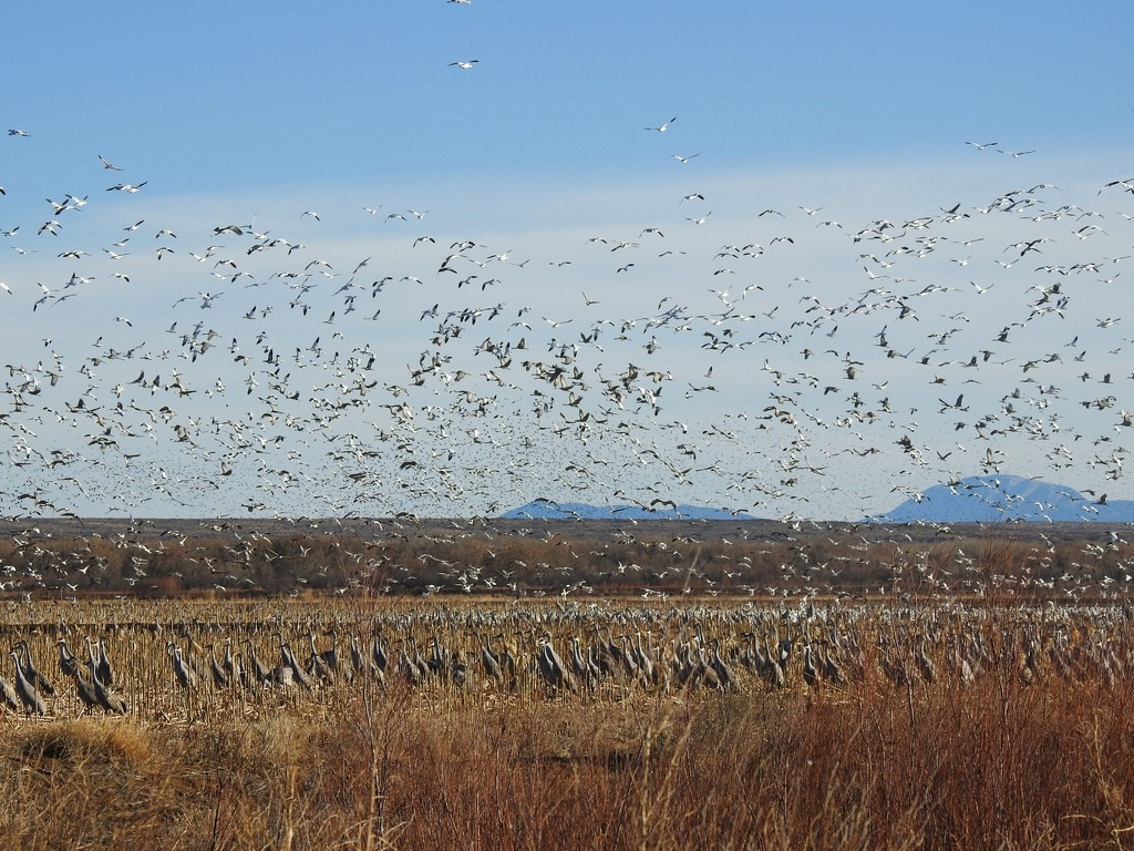 Snow Geese Flying over Cranes by janeandcharlie