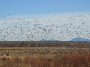 10th Jan 2019 - Snow Geese Flying over Cranes