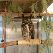 9th Jan 2019 - Rehabbing great horned owl