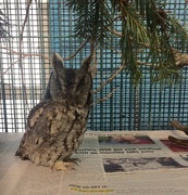 8th Jan 2019 - Rehabbing screech owl