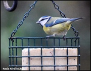 10th Jan 2019 - He's found the new suet block