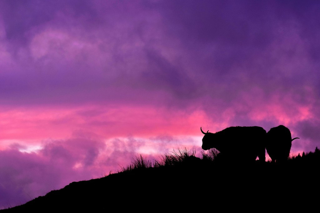 cattle at dusk by christophercox