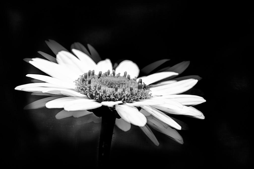 daisy by jernst1779