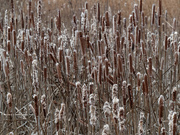 10th Jan 2019 - sea of cattails