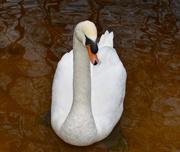 7th Jan 2019 - Swan