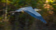 10th Jan 2019 - Panning the Blue Heron With Low Shutter Speed!