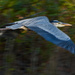 Panning the Blue Heron With Low Shutter Speed! by rickster549