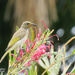 Young Brown Honey Eater by koalagardens
