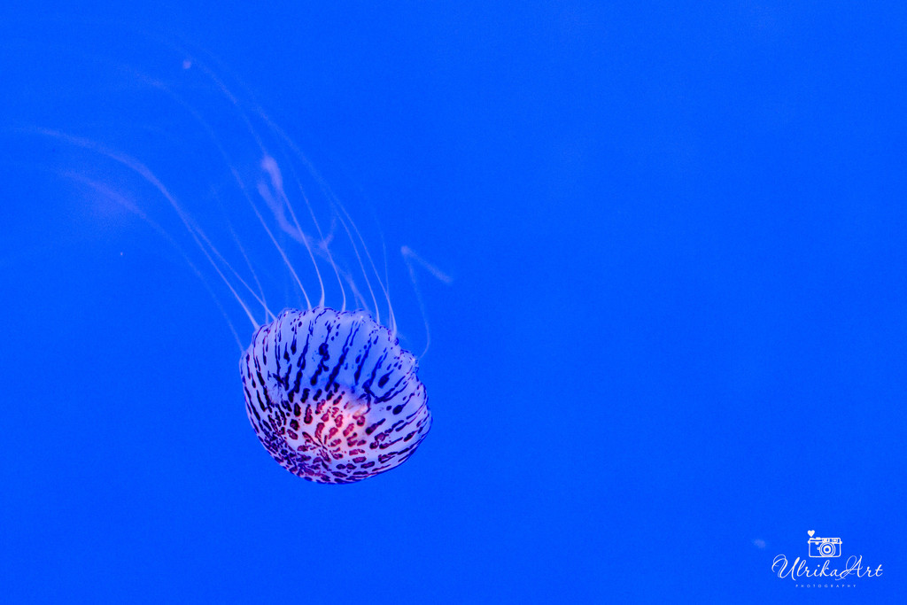 jellyfish by ulla