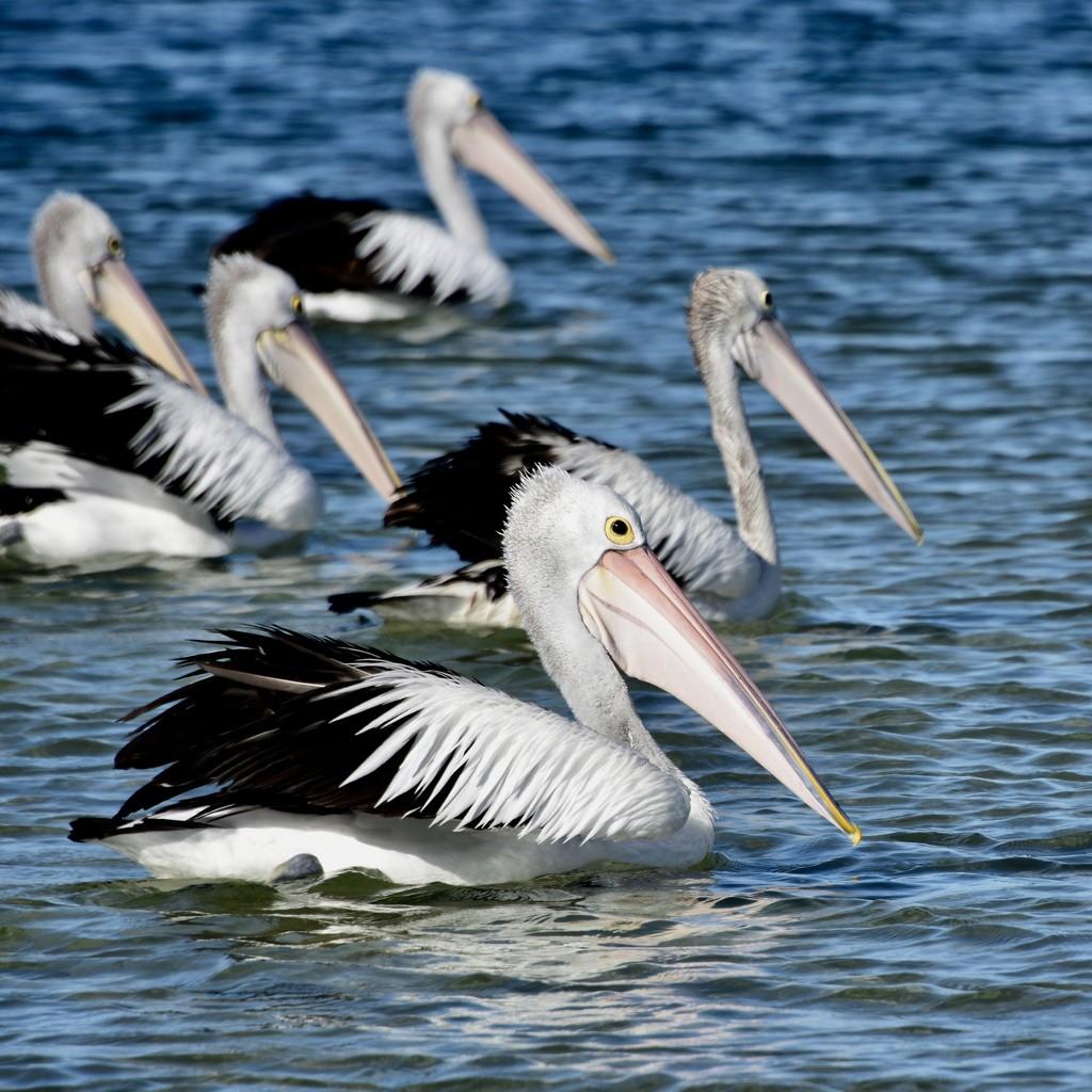 A Pouch Of Pelicans.. _DSC4069 by merrelyn