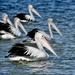 A Pouch Of Pelicans.. _DSC4069