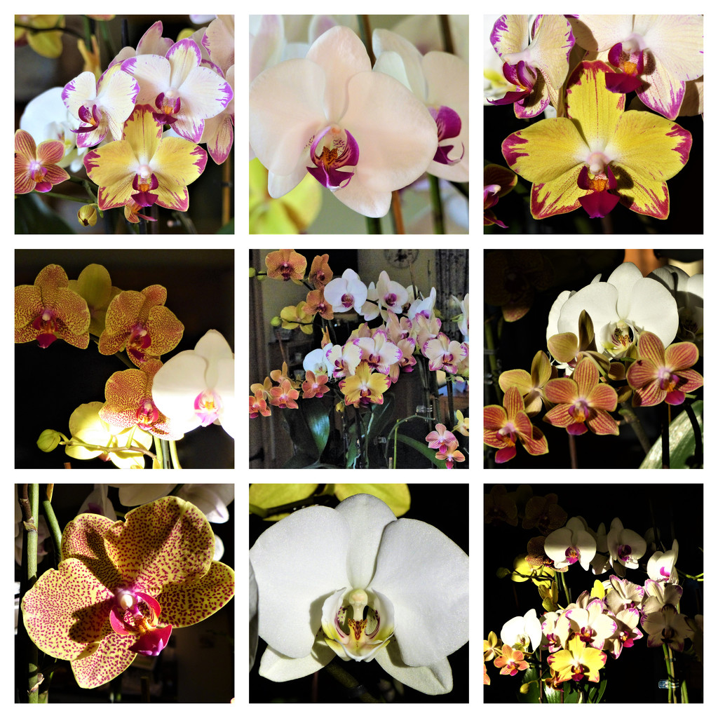 My Orchids by susiemc