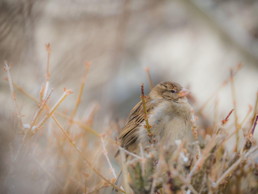 Sparrow by haskar