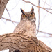 Great Horned Owl! by fayefaye