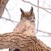 Great Horned Owl!