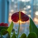 Anthurium by dianen