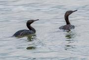 9th Jan 2019 - Pelagic Cormorants