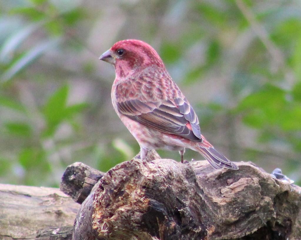 Purple Finch by cjwhite