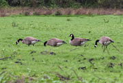 11th Jan 2019 - Geese in a Row