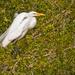 One Legged Egret!