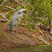 Blue Heron, Taking a Break!