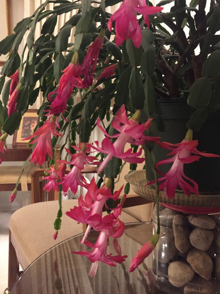 Dad's Christmas cactus  by kchuk
