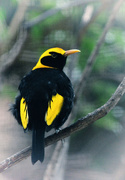 12th Jan 2019 - Regent Bowerbird