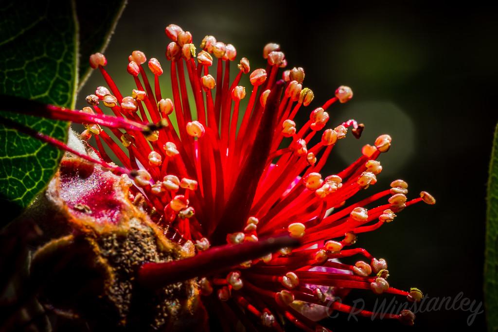 Feijoa Flower by kipper1951