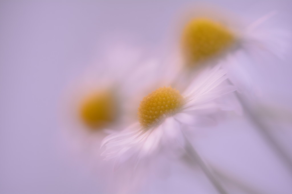 Lawn Daisy trio......... by ziggy77