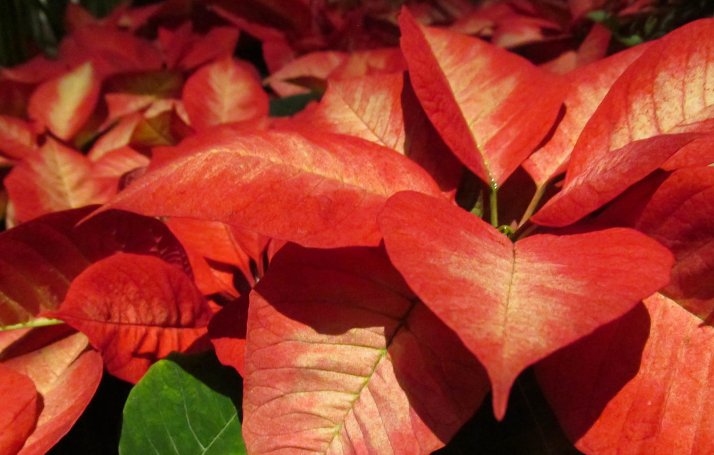 More poinsettias by mittens