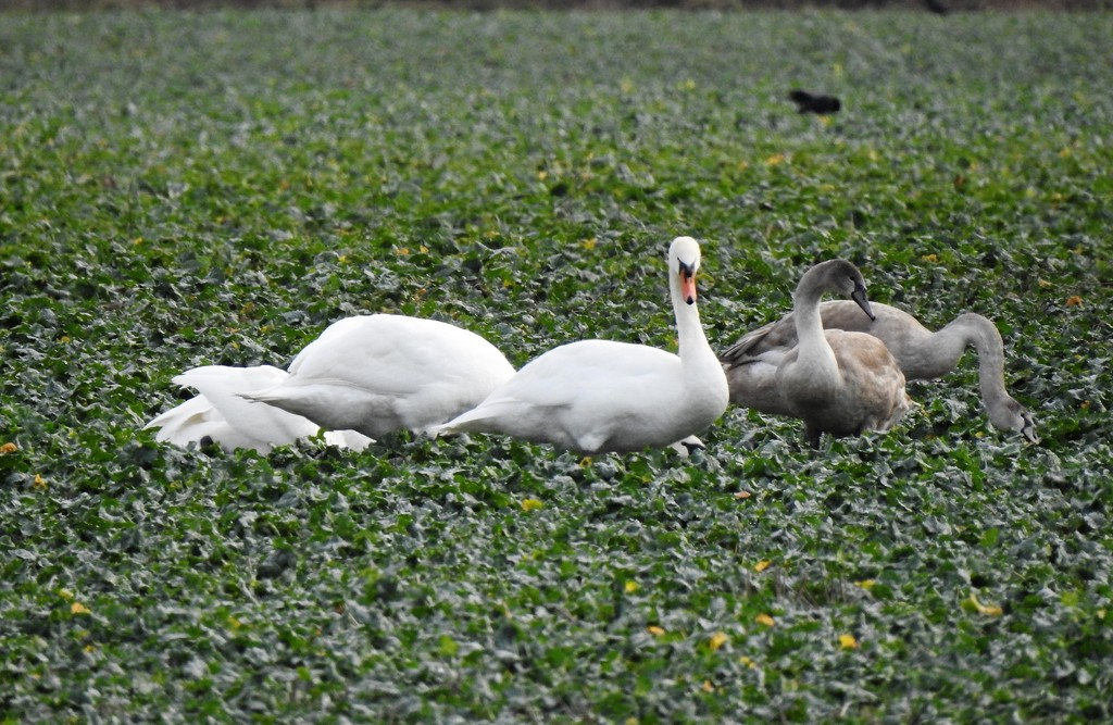 Swan Family in a Field by susiemc