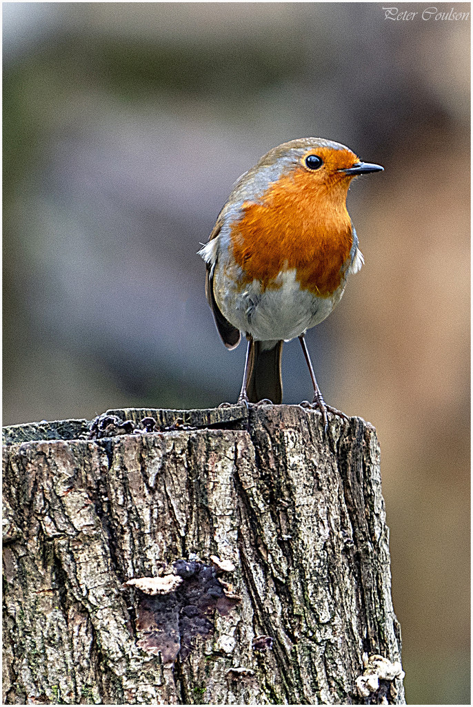 Robin Redbreast by pcoulson