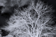 10th Jan 2019 - Winter Tree (Inverse)