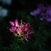 Spider flower - cleome - catching the light