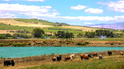 13th Jan 2019 - Nguni cattle