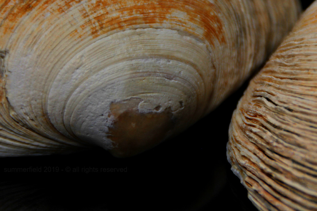 clam shells by summerfield
