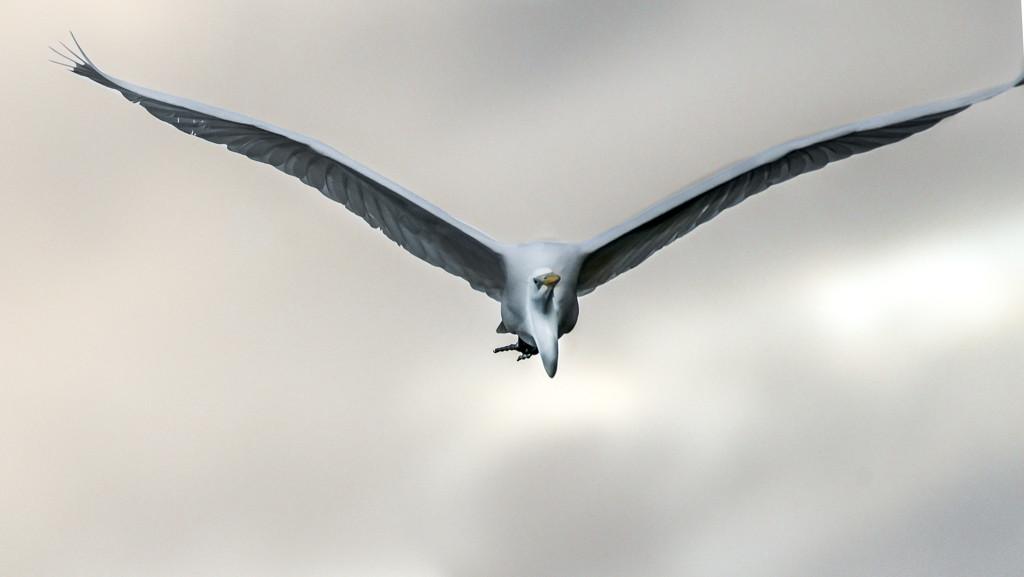 Egret Sky by stefneyhart