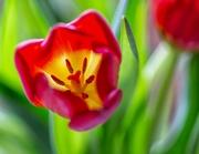13th Jan 2019 - Tulip