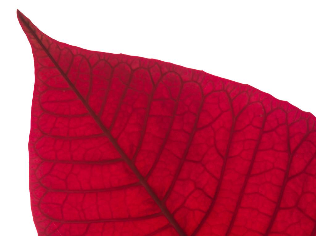 Poinsettia by rumpelstiltskin